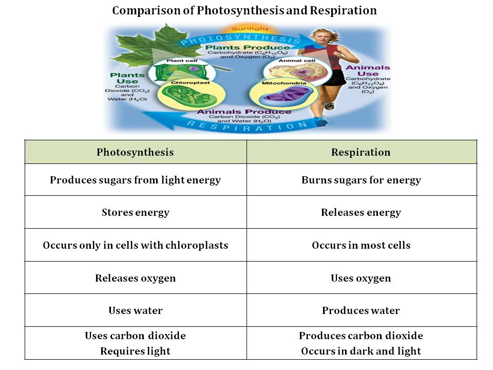 how are photosynthesis and cellular respiration related
